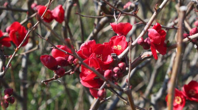 深紅の花は、ボケの花‐1774‐