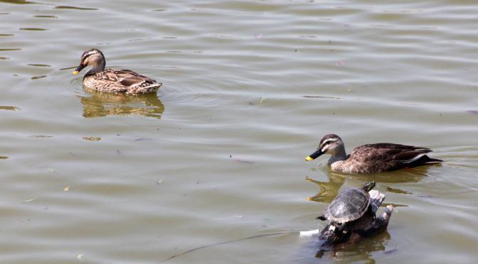 鴨も鯉も恋の季節‐1575‐