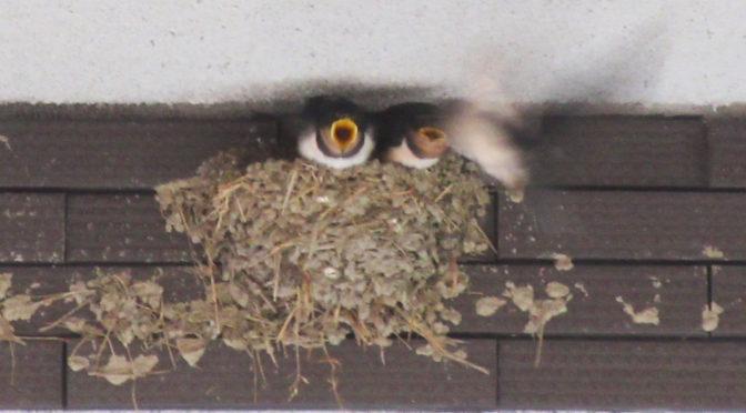 ハルカス、笑かす、ツバメの巣‐1702‐