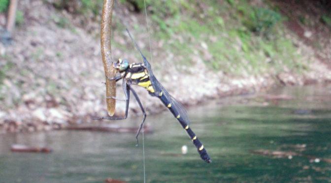 昆虫の王、オニヤンマも釣れるルアー‐1814‐